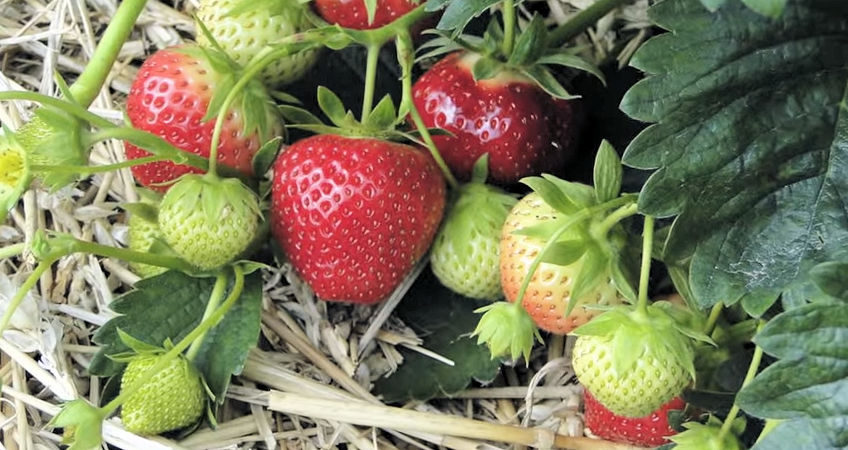 c mo plantar fresas en tu huerto urbano viveros el rosal